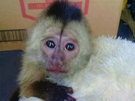 Monkey in  court