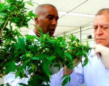 Jamaica plans to become the ' medical marijuana hub of the world'